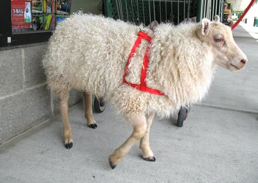 baba sheep 3