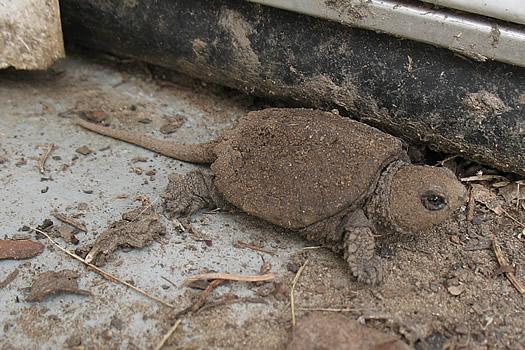 baby turtles 2