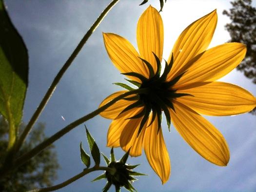 backlit flower Buckingham Pond 2014-09-10