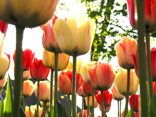 backlit yellow red striped tulips