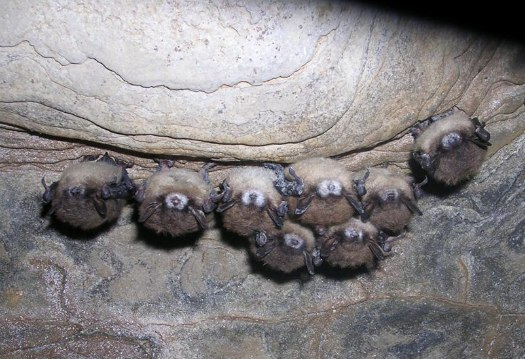 bats with nose fungus