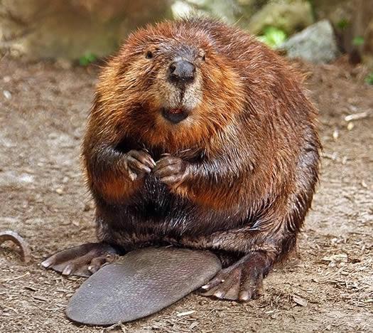 beaver munching on food
