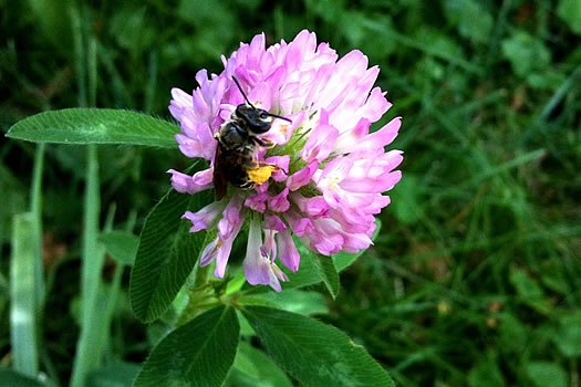 bee clover flower