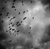 black birds gray sky justin higgins