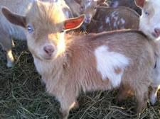 craigslist blue-eyed goat