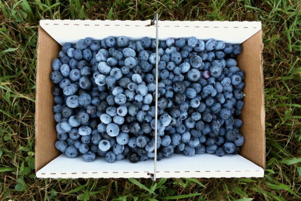 blueberries in box on grass