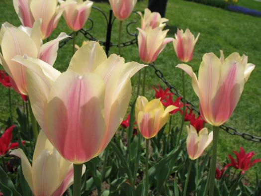 blushing tulips in Washington Park