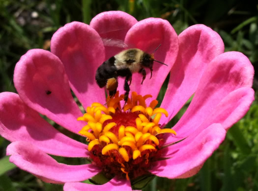 bumble bee zinnia