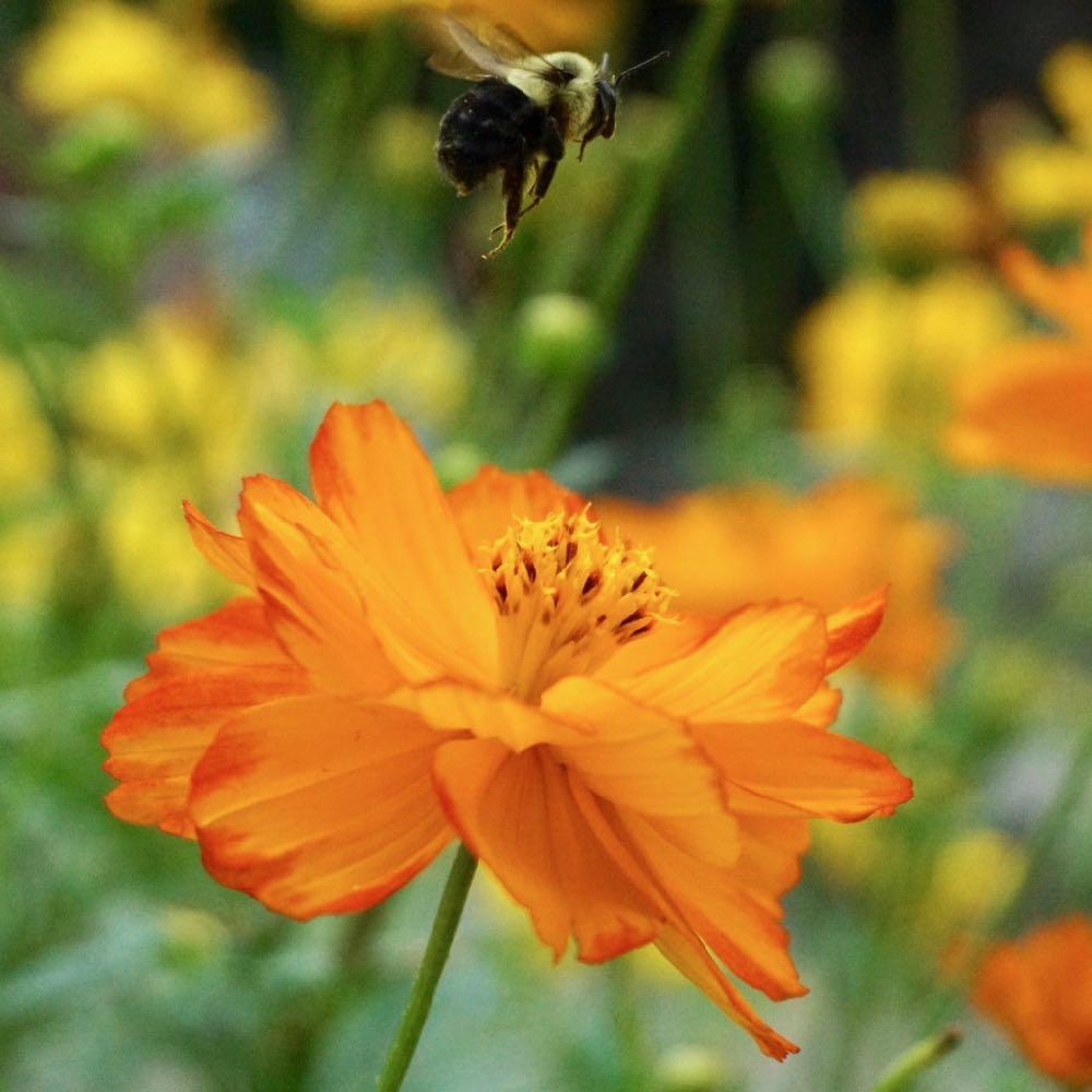 bumblebee above cosmos