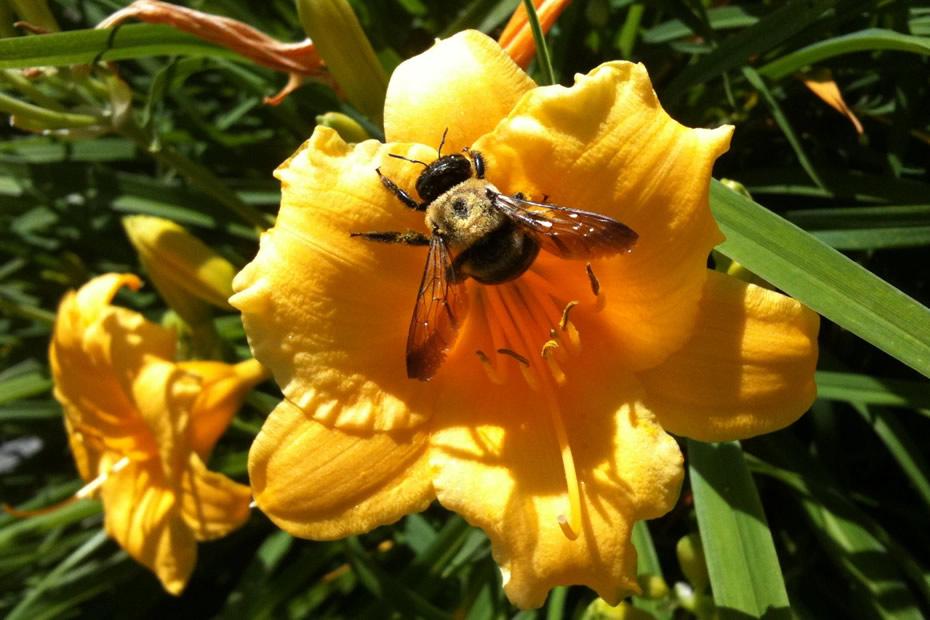 bumblebee flower pollen