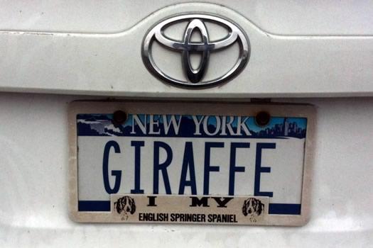 bumper_gawking_GIRAFFE.jpg