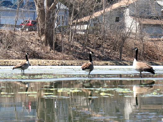 canada geese walking on Buckingham Pond 2014-04-03