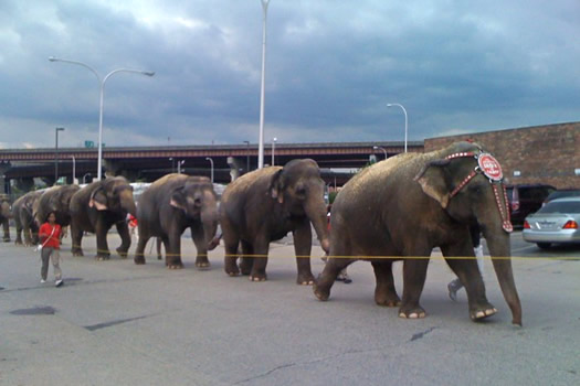 circus elephants in downtown albany