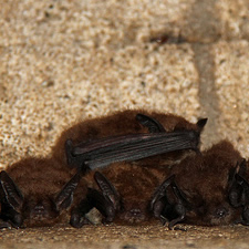 cluster of brown bats