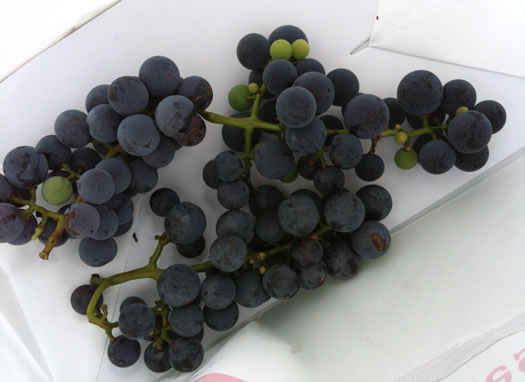 concord grapes in bag samascott