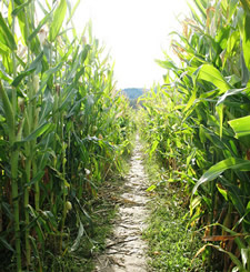 corn maze path