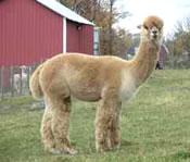 craigslist alpaca