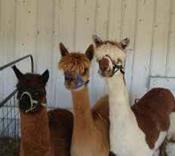 craigslist alpacas