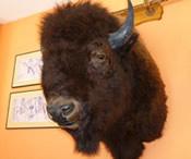 craigslist bison head