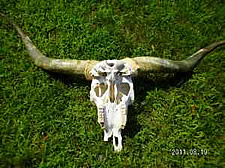 craigslist cattle skull