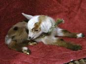 craigslist companion goat