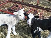 craigslist cute lambs