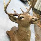 craigslist deer head