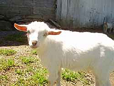 craigslist dwarf goat