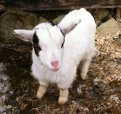 craigslist dwarf goat buckling