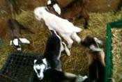 craigslist goat kids