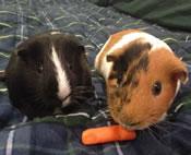 craigslist guinea pigs