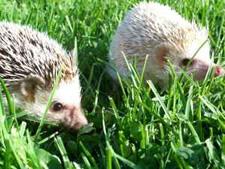 craigslist hedgehog pair