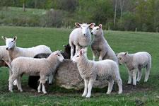 craigslist lambs on rock