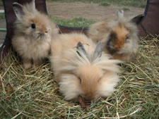 craigslist lionhead bunnies