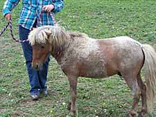 craigslist miniature horse