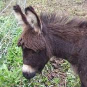 craigslist mini donkey foal