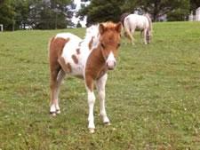 craigslist miniature horse foal