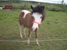 craigslist miniature horse rainbow