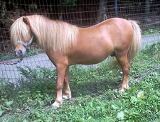 craigslist miniature stallion