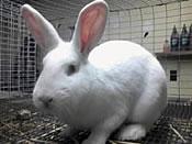 craigslist new zealand rabbit