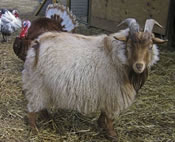craigslist nigora goat