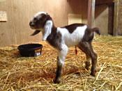 craigslist nubian buckling kid goat