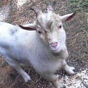craigslist pygmy goat