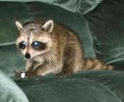 craigslist raccoon cat