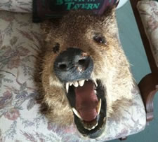 craigslist wild boar head mount