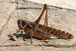 cricket insect
