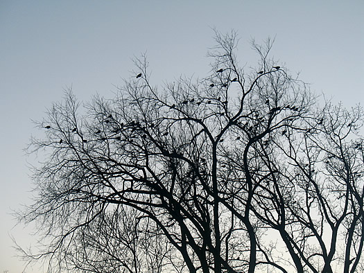 crows roosting