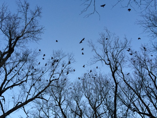 crows sky albany twilight 2015-02-17