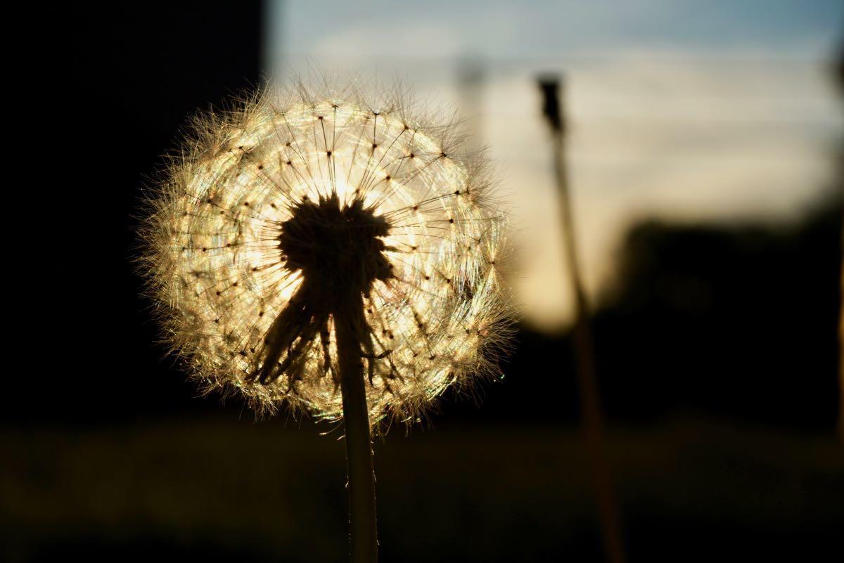 dandelion seed backlit by sunset