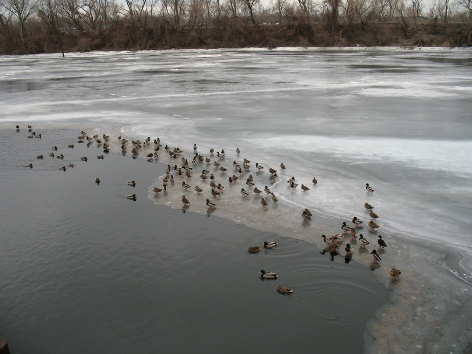 ducks_on_frozen_Hudson_River_Troy_2014-02-03_2.jpg